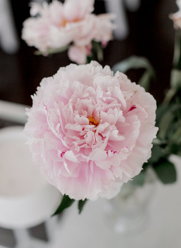 close up of a soft pink flower with ruffled petals