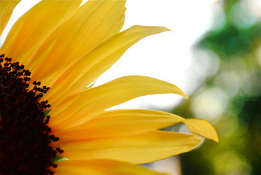 close up of a sunflower filling the frame