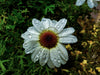 close up of a white daisy after fresh rainfall