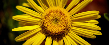 close up of a yellow flower with green out of focus