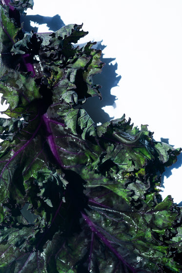 close up of crisp green and purple curly kale