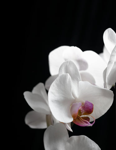 close up of falling white orchids with pink