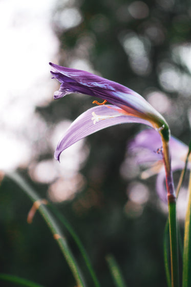 close up of purple blooming flower
