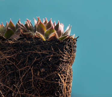 close up of succulents and their complex roots system