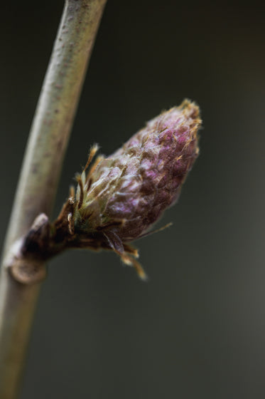 close up of undeveloped flower bud