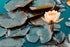 close up of water lily on pond