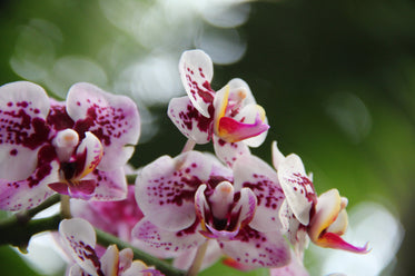 close up of white orchids with pink spots