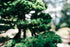 Browse Free HD Images of Close Up On Evergreen Bonzai
