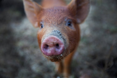 Browse Free HD Images of Close Up On Piggy Snout