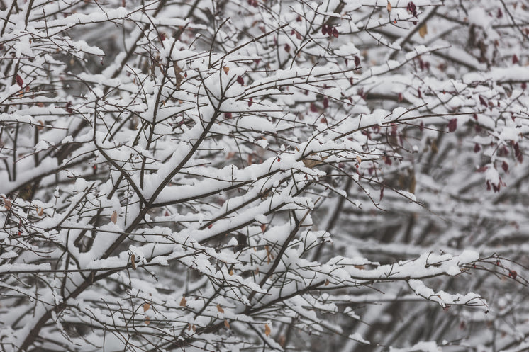 Close Up Snow On Branches