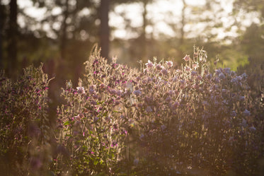 cluster of pink flowers glowing in morning sunshine