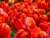 cluster of red tulips