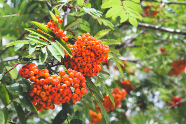 clusters of bright orange berries clinging to branch