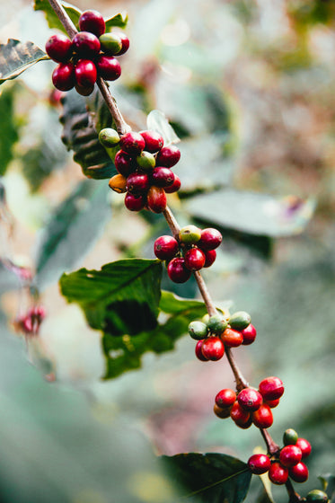 coffee beans on branch