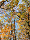 colorful autumn leaves on tall trees