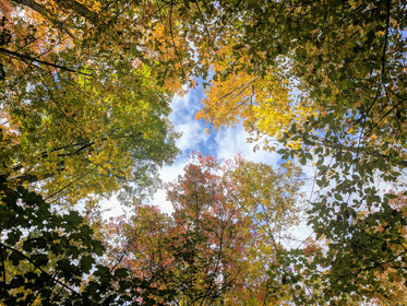 colorful forest leaves in canopy