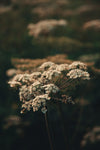 cow parsley plant in the wild