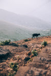 cow walks up rust colored hill