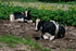 cows rest in farm field
