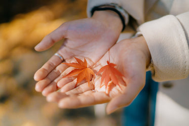 cupped hands hold two small japanese maple leaves