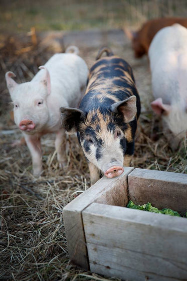 cute piglets on a farm