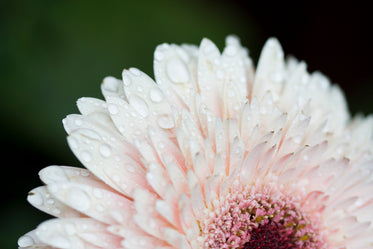 daisy close up with dew drops