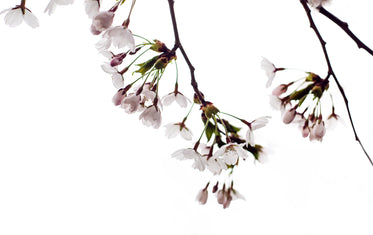 delicate blossoms on cherry tree