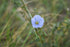 High Res Delicate Blue Wildflower Picture — Free Images