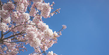 delicate pink and white cherry blossoms against blue sky