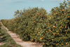 dirt path reaches along line of florida orange orchard trees