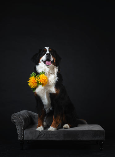 dog poses on couch wearing flowers