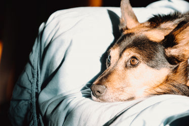 dog relaxes and rests his head on a sofa arm rest