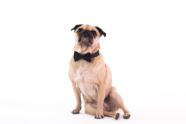 dog wearing black bowtie