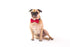 dog wearing red bow tie