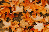 dried fall maple leaves