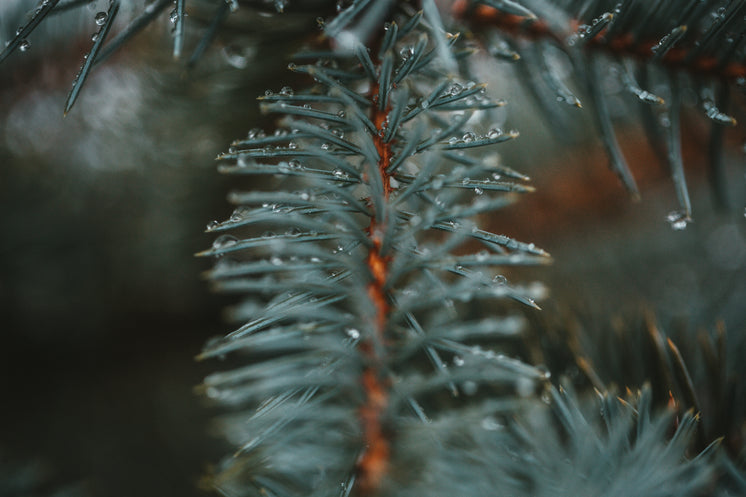 Droplets Collect On The Tips Of Spruce Needles