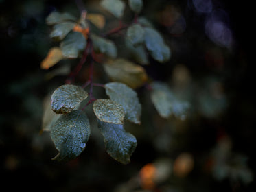 drops of rain cling to dark green leaves