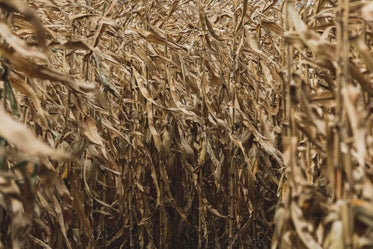 dry cornfield close up