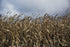 drying corn field under cloudy sky