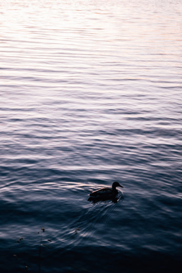 duck swims in calm water as the sun sets