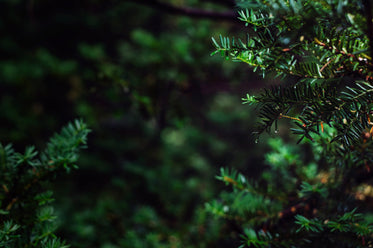 evergreen branches close up