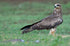 falcon standing in short grass
