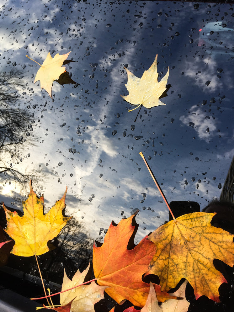 Fallen Maple Leaves On Windsheild