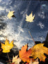 Browse Free HD Images of Fallen Maple Leaves On Windsheild