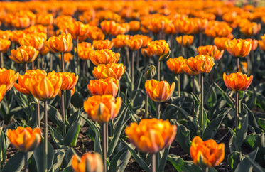 field of orange flowers