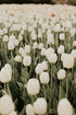High Res Field Of White Tulip Flowers Picture — Free Images