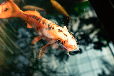 fish in a pond with skylight reflection