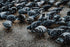 flock of pigeons on wet concrete