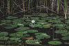flower in lily pad pond