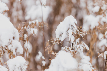 fluffy winter snow on dried leaves